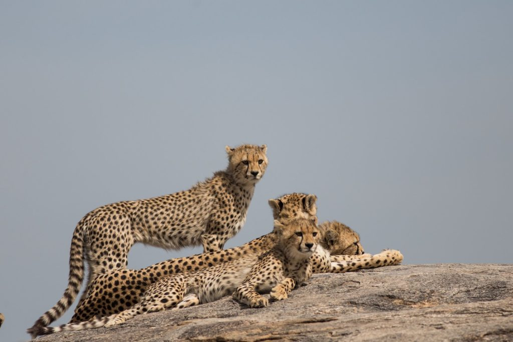 Cheetah Serengeti, Tanzania Safari