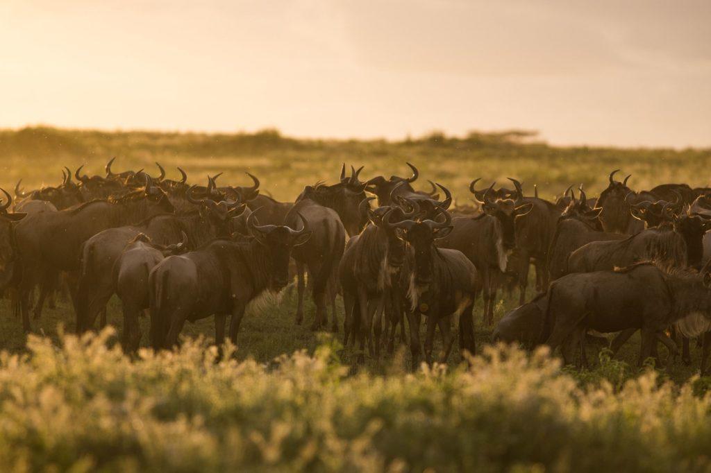 Wildebeest Lake Ndutu Serengeti Tanzania