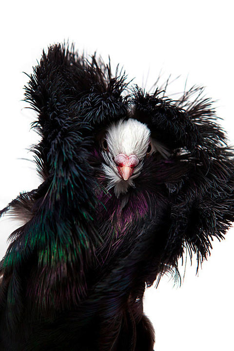 fancy pigeon egypt David-Degner3