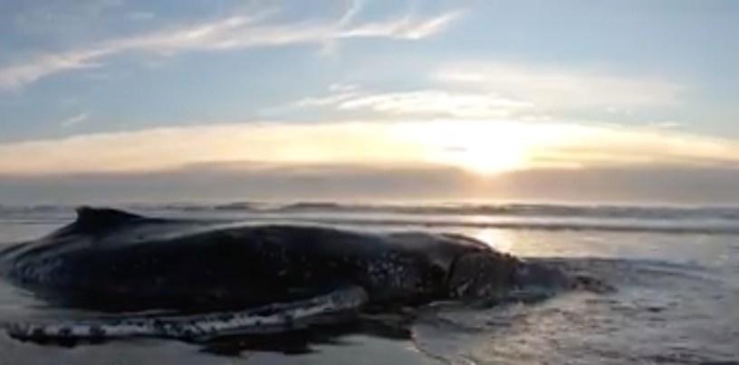 Balena spiaggiata Argentina