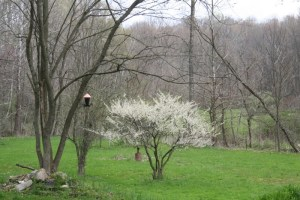 Bird feeder and plum tree in bloom