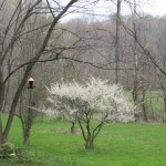 Bird feeder and plum tree in bloom