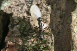 Carpenter ant carrying something