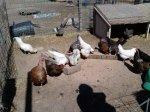 Chickens and turkeys