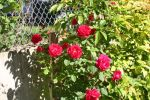Roses in our garden
