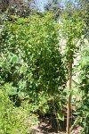 Tomatillo plant