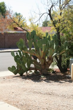 Cactus in front yard