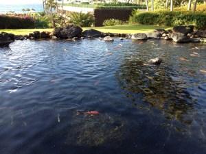 Koi pond at the Hyatt