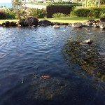 Koi pond at the Hyatt