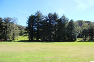 Pine trees (not native) near Puu Hinahina lookout