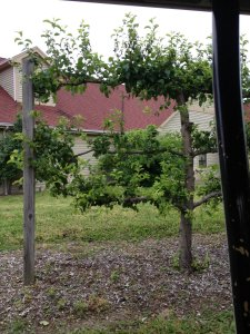 cleverly trimmed apple tree