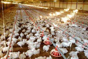 Southwest Japan, Japan, bird flu,chickens