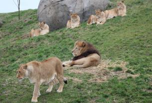 zoo in germany,lions escape,leopards escape,German zoo