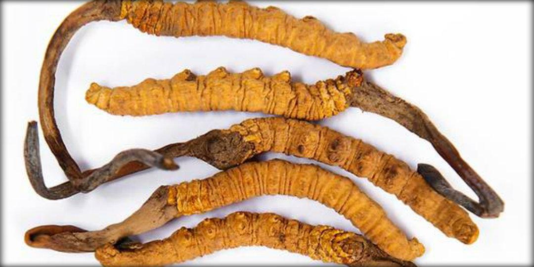 yarchagumba, Himalayan Viagra, climate change, World News