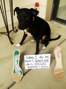 Bruiser Displays His Separation Anxiety by Destroying His Owner's Shoes