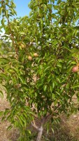 fruit trees,orchard,fruit for people,grow fruit