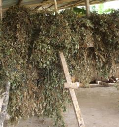 tropical kudzu pueraria phaseoloides dried for hay [ 1600 x 1086 Pixel ]