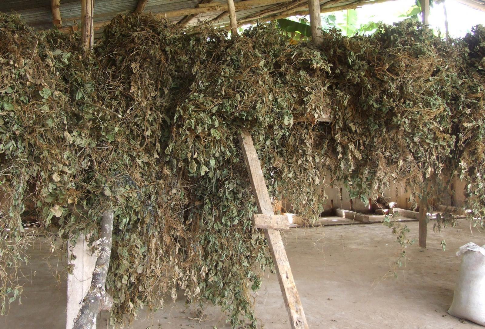 hight resolution of tropical kudzu pueraria phaseoloides dried for hay