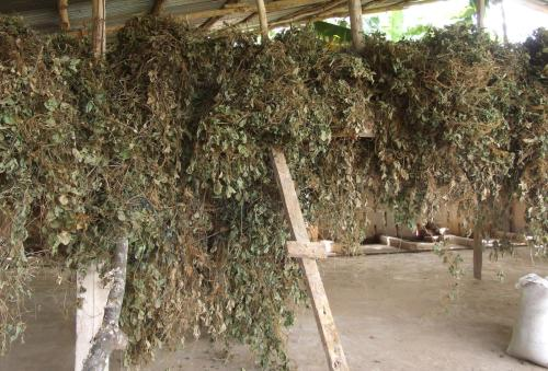 small resolution of tropical kudzu pueraria phaseoloides dried for hay