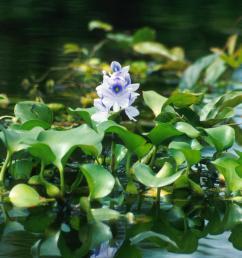 water hyacinth eichhornia crassipes  [ 1600 x 1068 Pixel ]