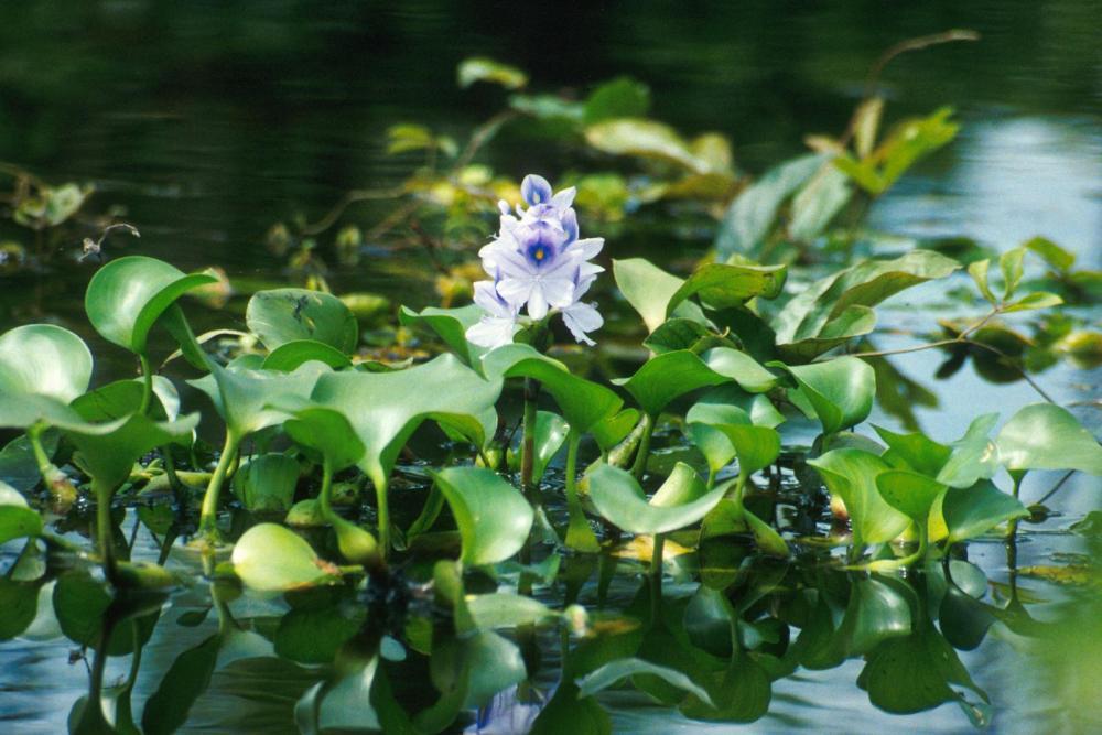 medium resolution of water hyacinth eichhornia crassipes