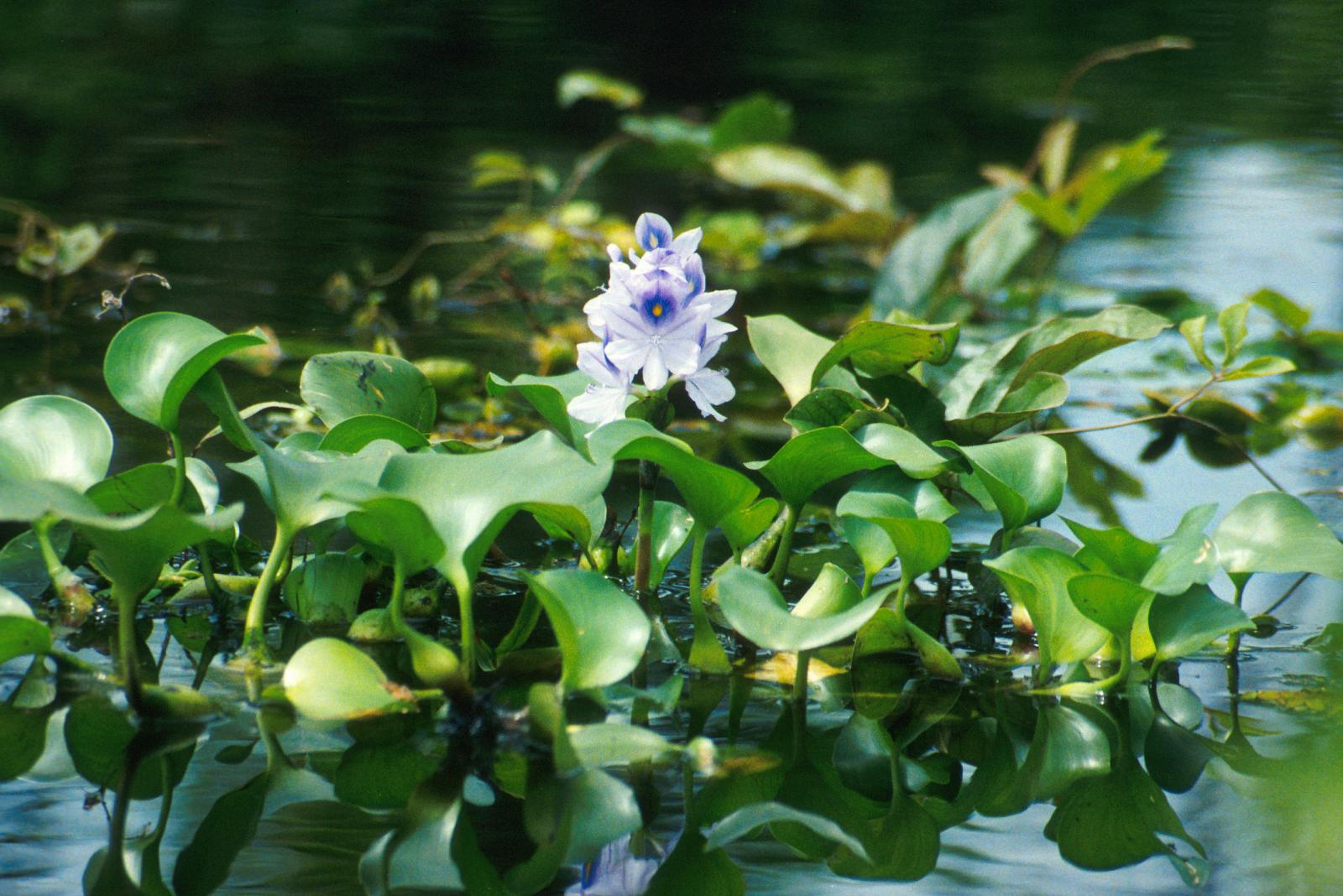 hight resolution of water hyacinth eichhornia crassipes