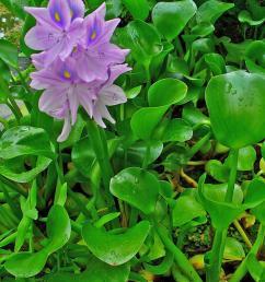 common names water hyacinth  [ 1200 x 1600 Pixel ]