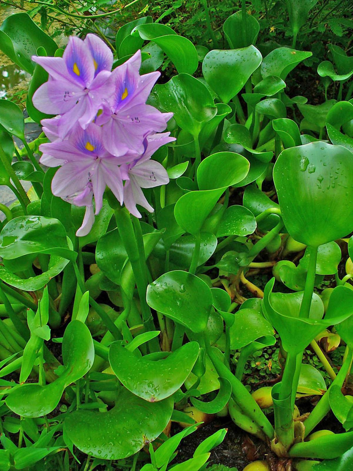hight resolution of common names water hyacinth