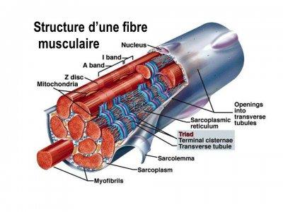 structure fibre musculaire