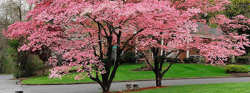 Flowering Trees Feeneys Plant Nursery In Bucks County
