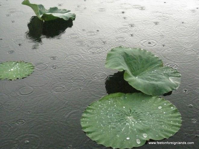 Lotus in Yellow Water