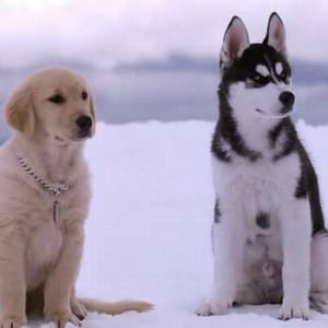 《雪狗兄弟Snow Buddies》聽力材料精選,聽電影片段練習英語聽力 - 飛鴿廣播網