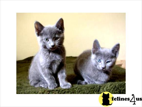 Kitty cats in my life: Nebelung cat   Pictures of Cats