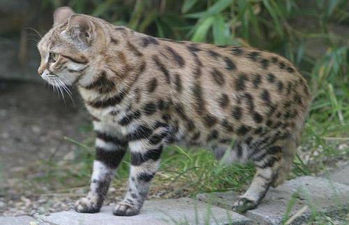 Felis – Meet the Felidae Family