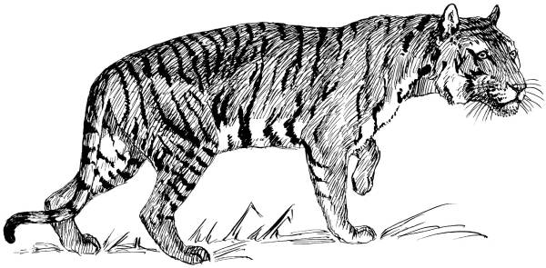 Tiger Line Drawings Coloring