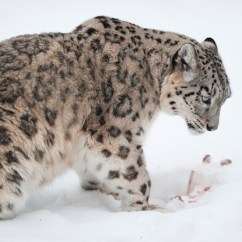 Snow Leopard Anatomy Diagram Whirlpool Dryer Motor Wiring Feline Facts And Information An Endangered Species