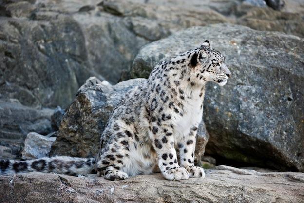 snow leopard anatomy diagram emg mm hz wiring feline facts and information characteristics