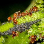Common Red Ant (Myrmica rubra)