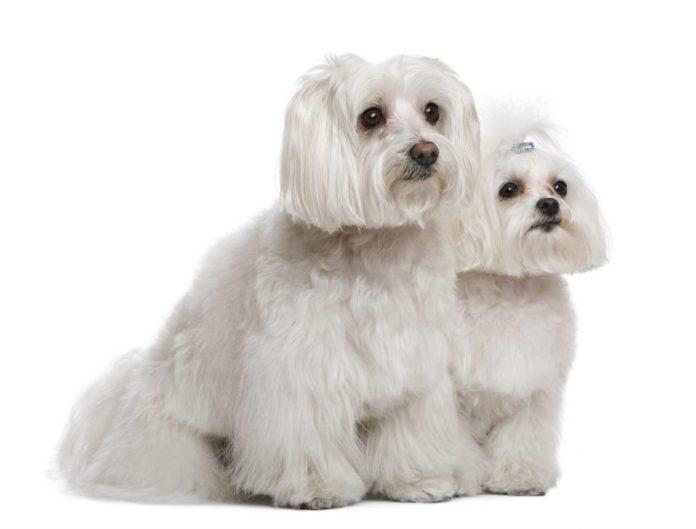 10 raças de cães indicadas para idosos