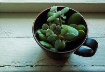 Suculentas – 5 cuidados importantes