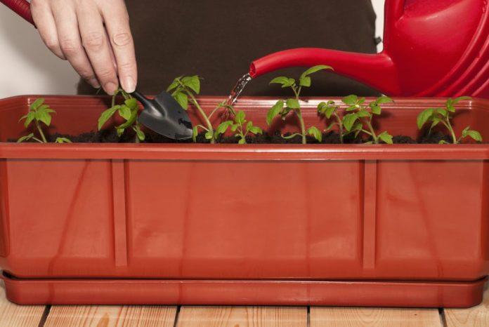 Plantar tomates em vasos – 5 passos simples