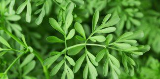 Chá de Arruda – Benéfica para tratar varizes e mais