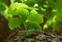Ginkgo biloba – Conheça os benefícios desta planta chinesa