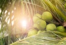 Água de coco – Prazer refrescante