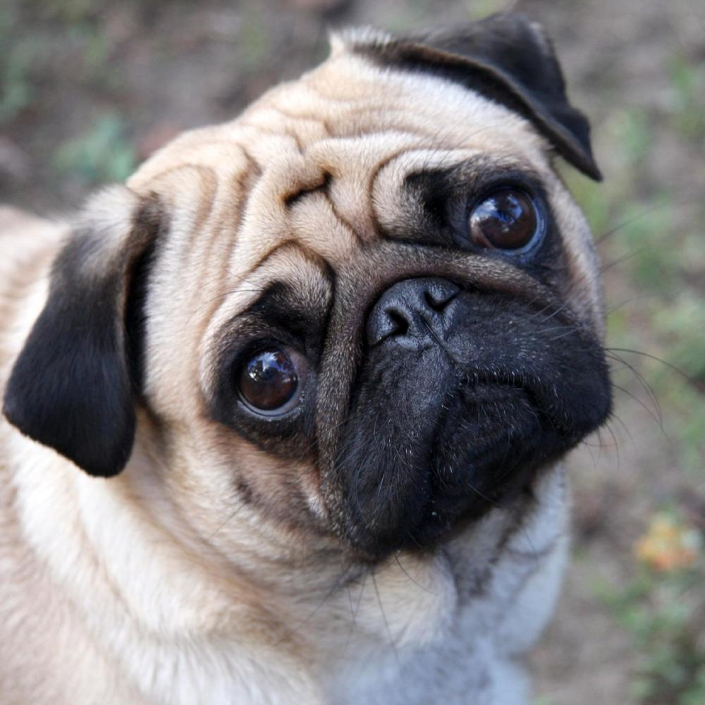 Cute French Bulldog Wallpapers Pugs Are A Man S Best Friend