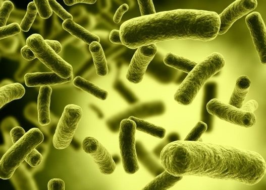 bacteria salmonella typhi