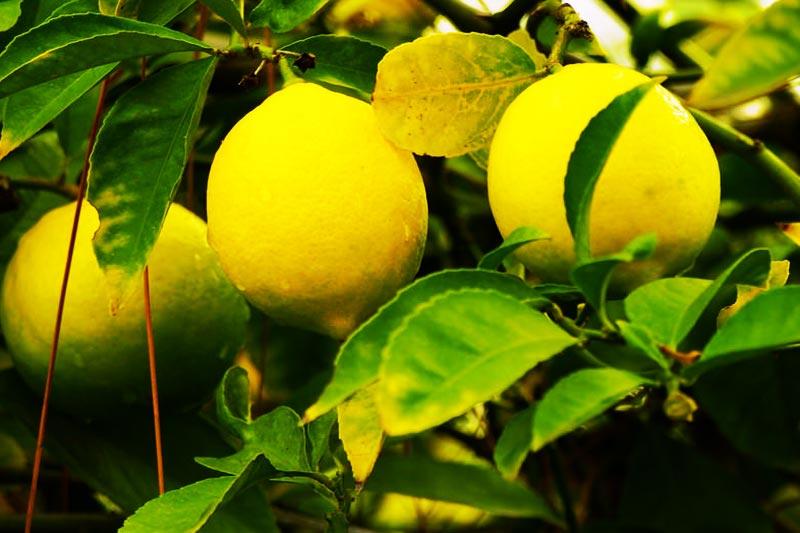 Come Back to Me Lemon