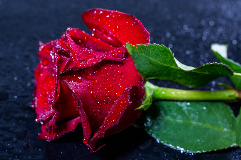 A Single Rose is Survival