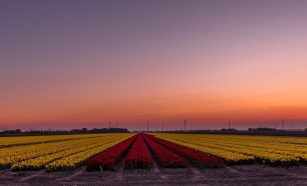 a beautiful sunset in the flevopolder above a field of yellow and dark purple tulips
