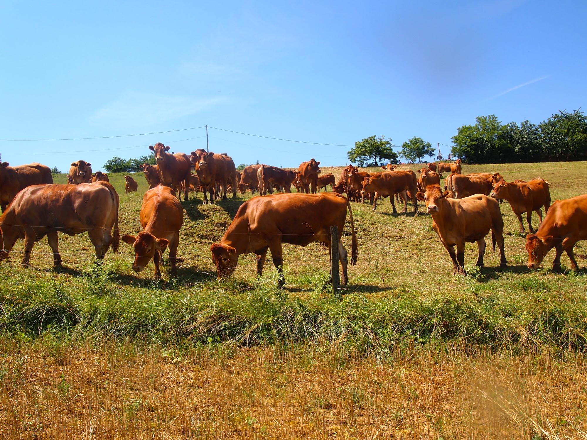 Ferme-de-Peyrot-vente-directe-de-viande-bovine-limousine-montgazin-en-haute-garonne-troupeau